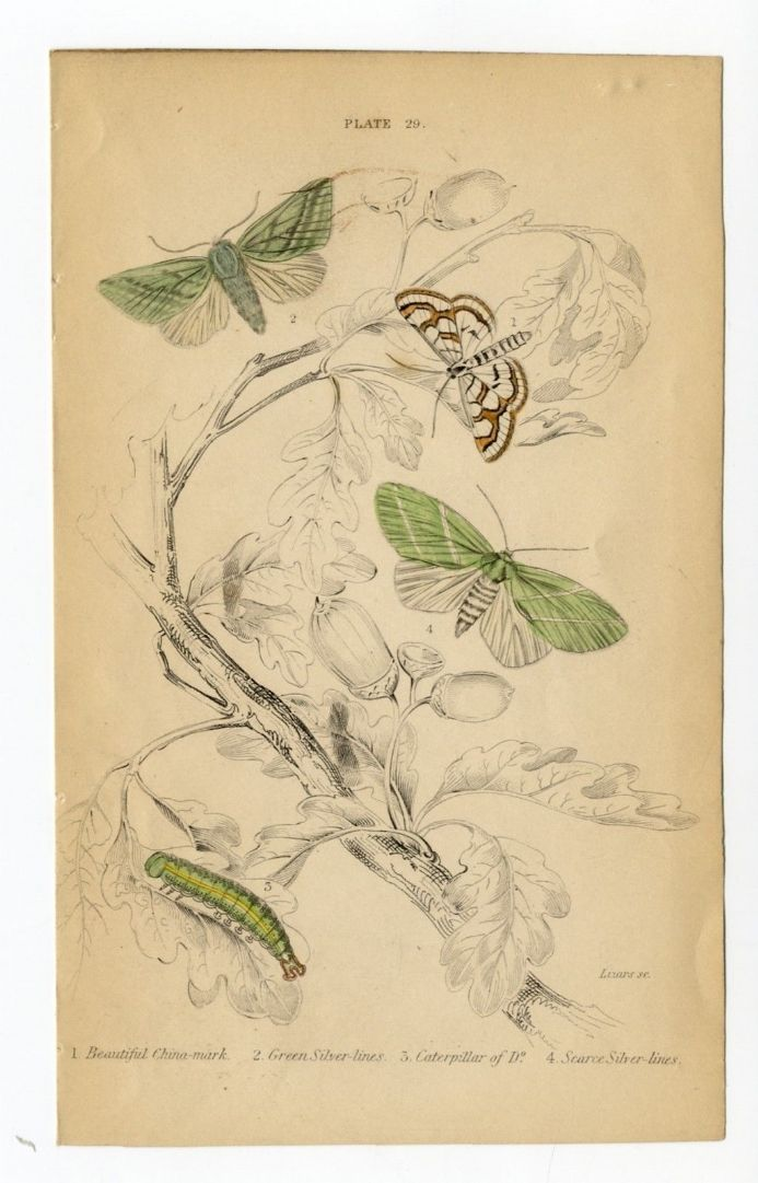 1836 MOTHS JARDINES China Mark Green Silver Lines Caterpillar PRINT by Lizars